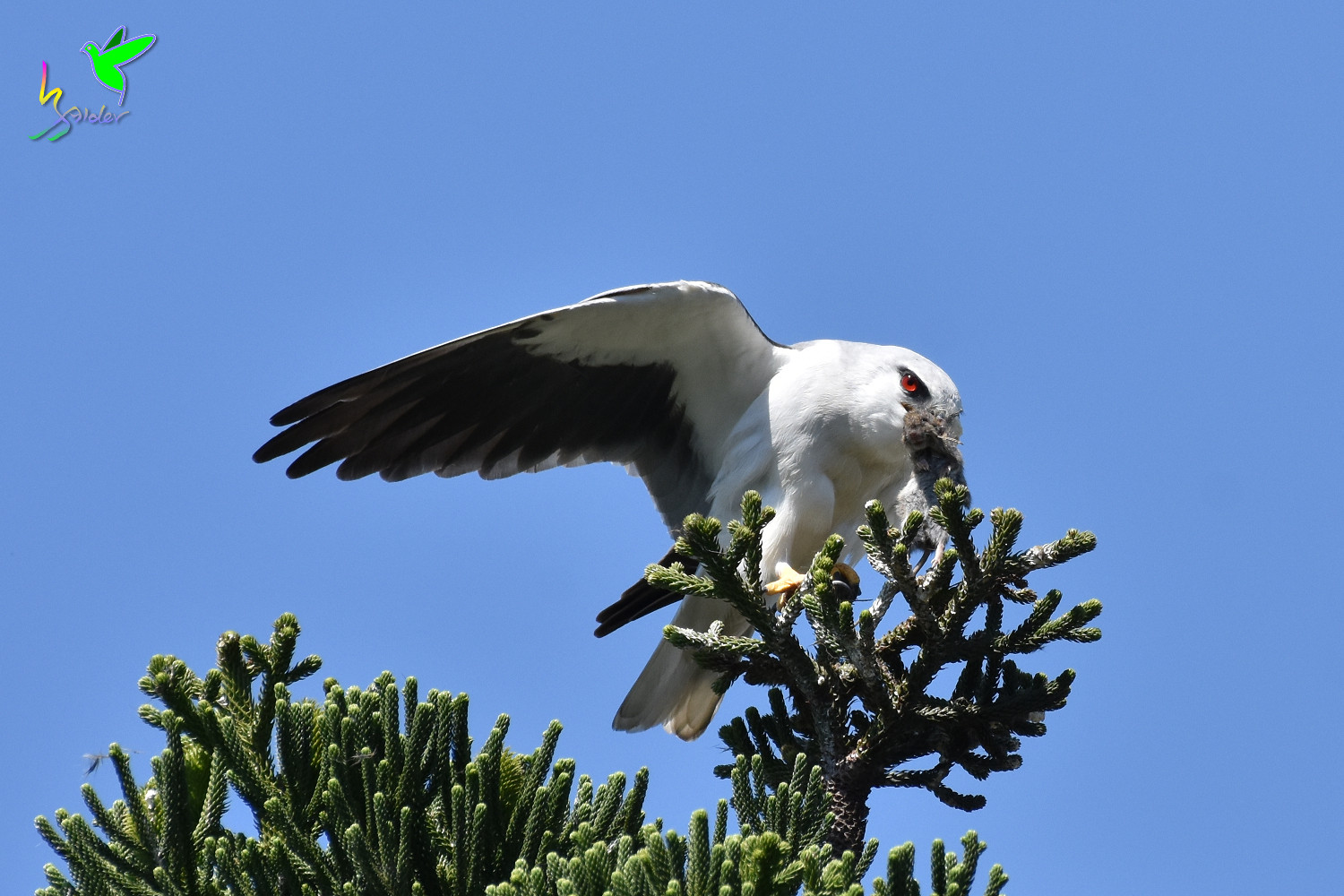 Black-winged_Kite_1932
