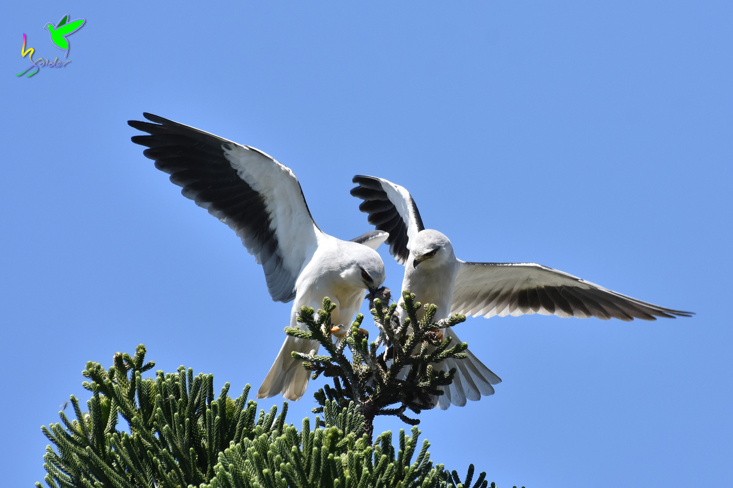 Black-winged_Kite_1927