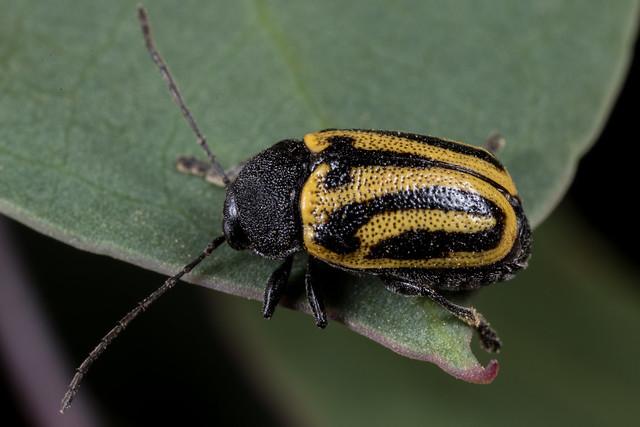 Cadmus (Cadmus) australis