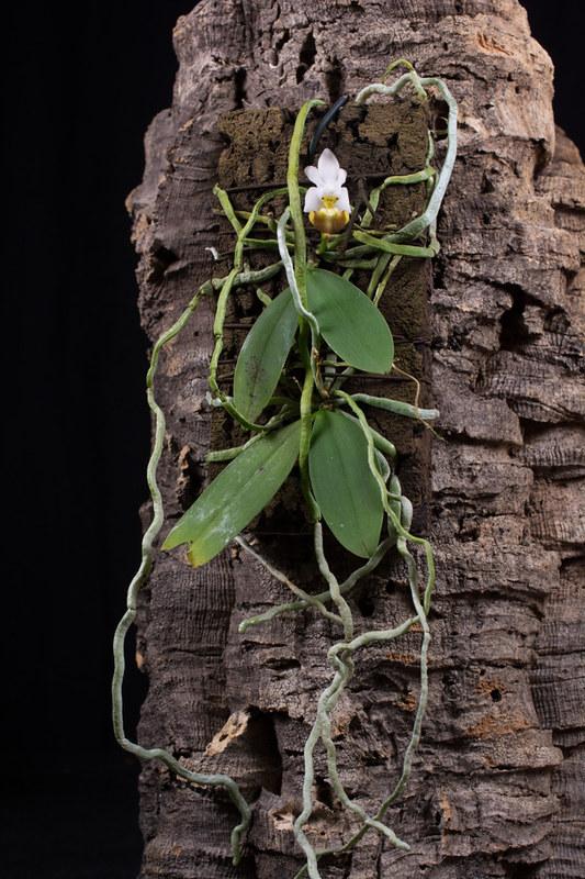 Orchideen-Neuzugang 2 27121721698_a02c82cdf7_c