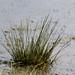 Cotton grass, frozen pool