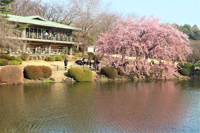2018年3月13日の新宿御苑の桜開花状況(画像)