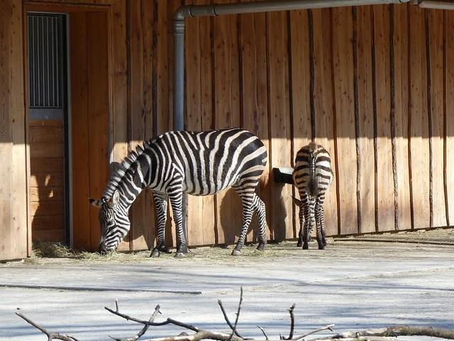 Böhm-Steppenzebra, Zoo Karlsruhe