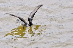 Little Black Cormorant ( taking a quick dip )