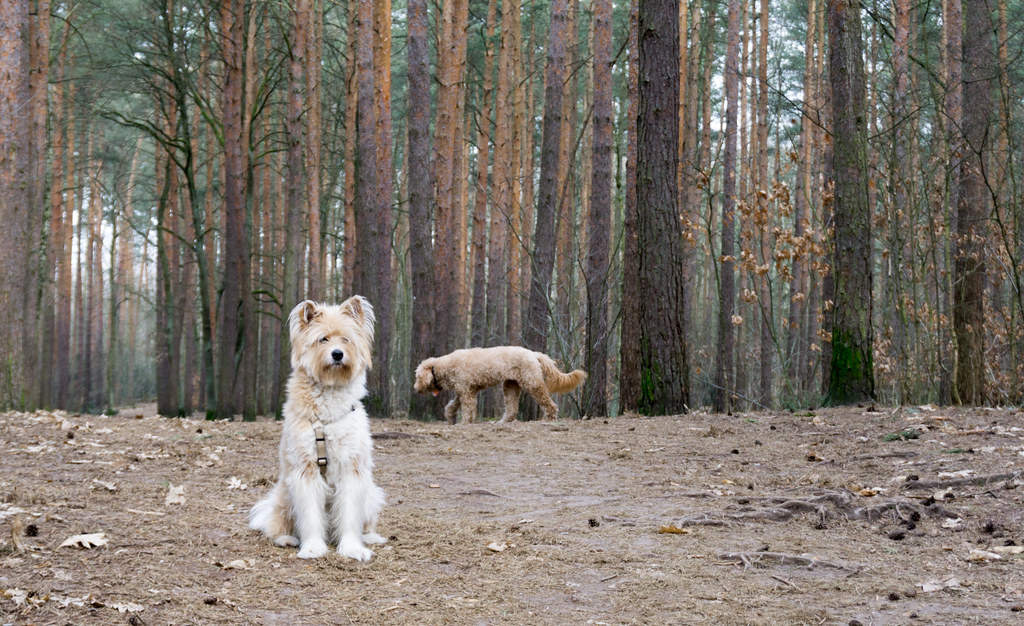 This Dog Looks Like a Loner But is Protecting the Back of the Pack. My Airbnb Experience in Grunewald Forest in Berlin, Germany, March 6, 2018.