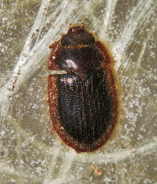 Mandalay hairy false Pie dish beetle Bark-gnawing beetle Ostoma sp aff ferruginea Trogossitidae Airlie Beach rainforest P1200016