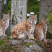 Lince by valeriolanci