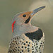 Male Northern Flicker (Colaptes auratus) by Don Delaney