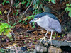 Black-crowned Night-heron (Nycticorax nycticorax) by David Cook Wildlife Photography