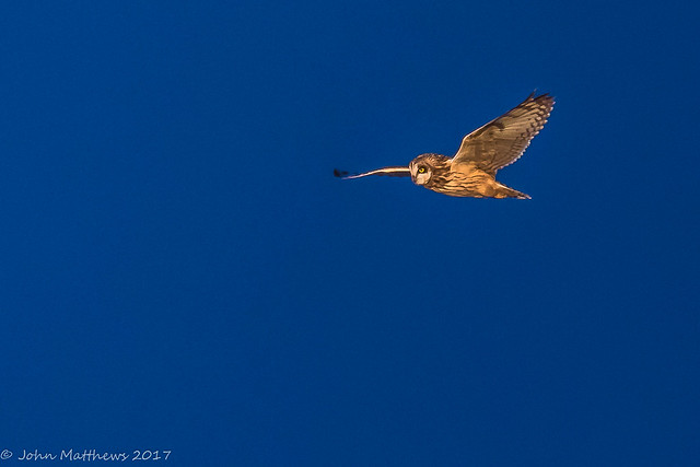Short-eared Owl-6737.jpg, Canon EOS 7D MARK II, Canon EF 600mm f/4L IS
