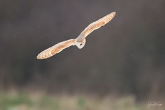 Pushing some ISO on this one 22800, but hey its a Barn Owl.