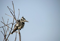 (Male) Pied kingfisher (Ceryle rudis), Kotu creek, The Gambia