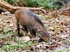 Eurasian Wild Pig