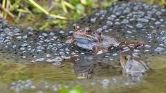 HolderCommon Frog (image 2 of 3)