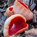 Scarlet Elfcup