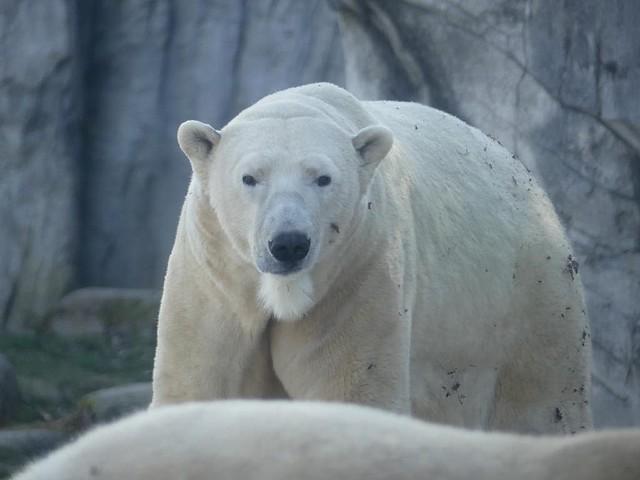 Eisbär Nika, Zoo Karlsruhe