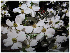 True flowers of Cornus florida florida (Flowering Dogwood, White Dogwood Tree) are in the cluster at the center of the dogwood bloom, March 14 2018