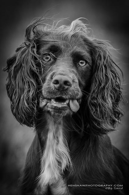 The Big Gun Dog Weekend at Court Farm, Betley, Cheshire.