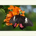 Papilio anchisiades - Ruby-spotted Swallowtail ♀ por J. Amorin