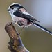 Long tailed tit by davy ren2