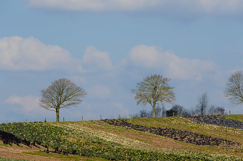 Brassica stripes: Darts Farm