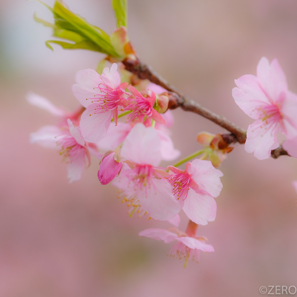 河津桜-8378.jpg