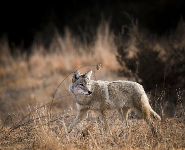 Coyote looking back, Nikon D610, AF-S VR Nikkor 300mm f/2.8G IF-ED II