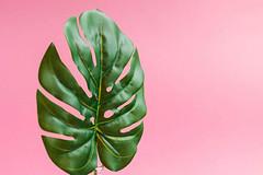 Close up of green leaf on bright pink background: Monstera (Fensterblatt)