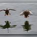 Mallard landing, female