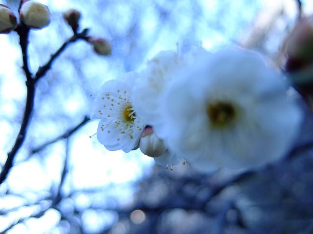 449 - wisteria2-kozo