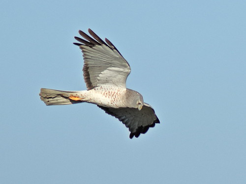 Northern Harrier male 007-20180323