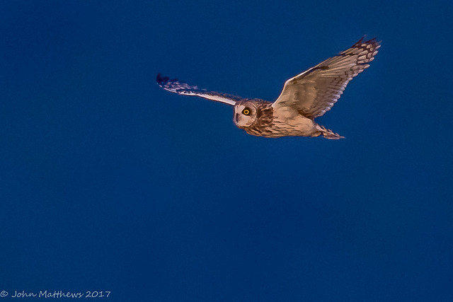 Short-eared Owl-6868.jpg, Canon EOS 7D MARK II, Canon EF 600mm f/4L IS