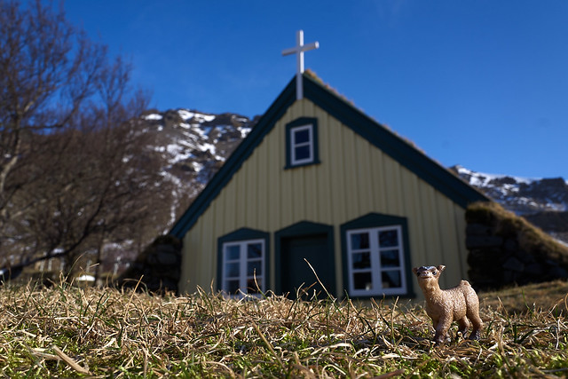 baby goat chills at the last turf church in Iceland