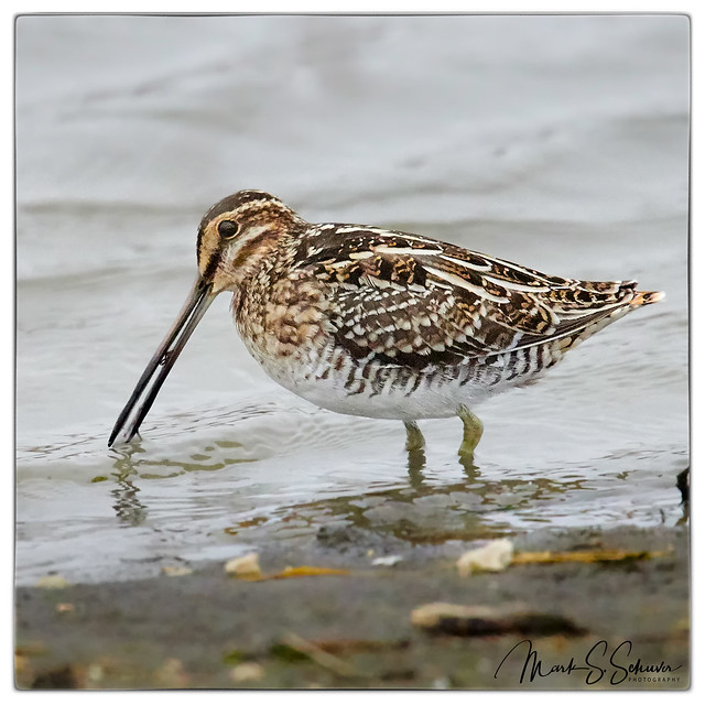 Wilson's Snipe at Eagle Bluffs Conservation Area - No 2