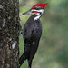 Pileated Woodpecker by PeterBrannon