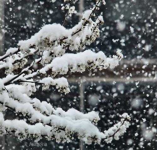 nature landscape spring snow snowflakes tree blossom branch white cold sony rivanova риванова сняг пролет природа снежинки цвят дърво клони студ цветове