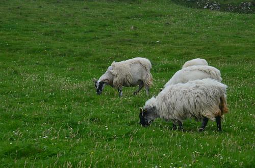 Weidende Schafe auf Blasket Island