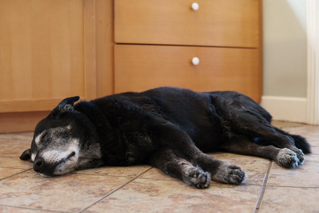 Our dog Ellie sleeps on the kitchen floor