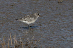IMGP0308a Grey Plover, Titchwell, February 2018
