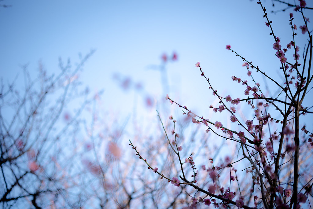 The plum blossoms in Okamoto Park