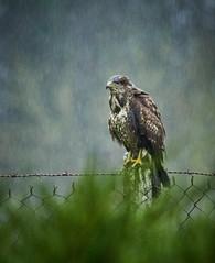 Big bird in the rain