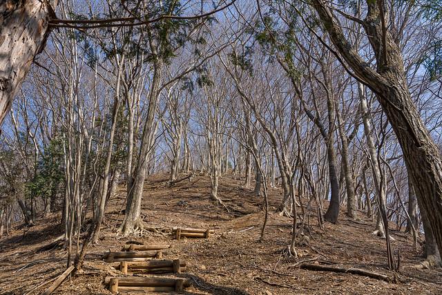 伊豆ヶ岳直下の美林へ
