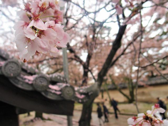 daigoji-sakura013