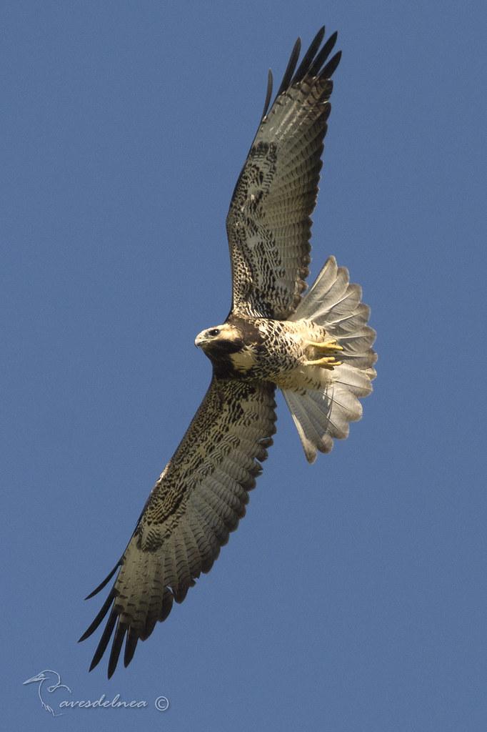 Aguilucho alas largas (White-tailed hawk) Geranoaetus albicaudatus