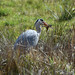 A hungry Grey Heron at Chesworth Farm, Horsham