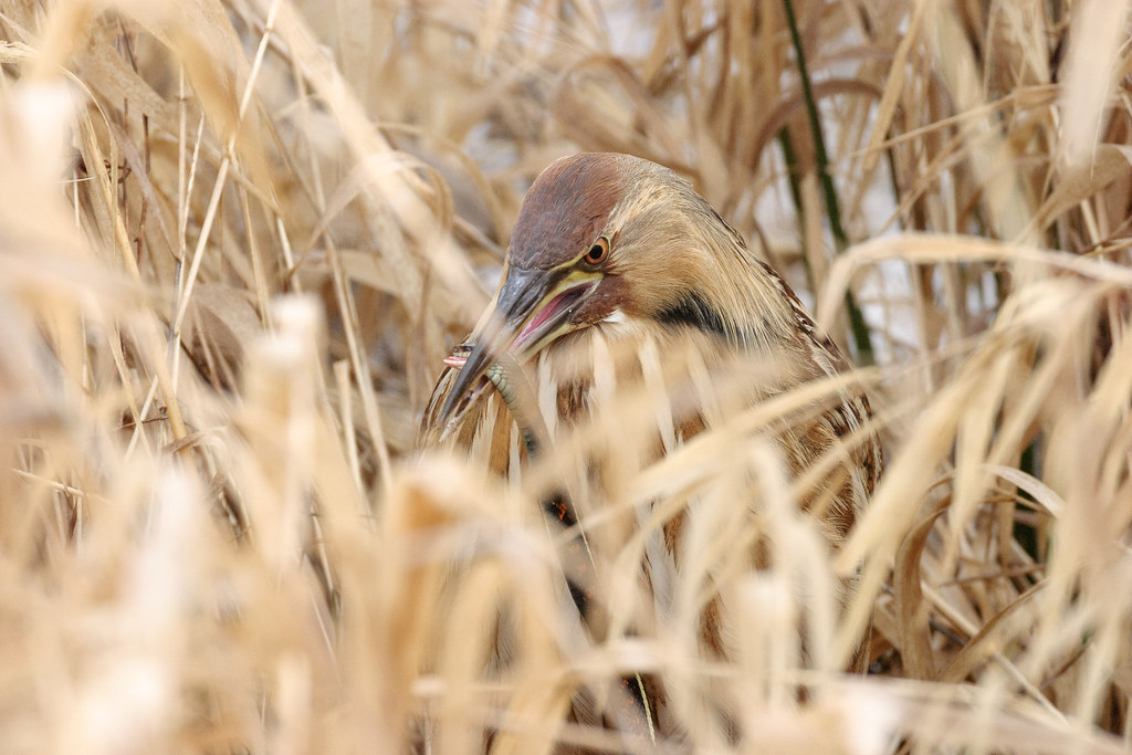 An American bittern eats a red-spotted garter snake at Ridgefield National Wildlife Refuge