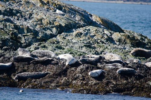 Harbor Seals-001