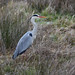 Grey Heron at Chesworth Farm, Horsham