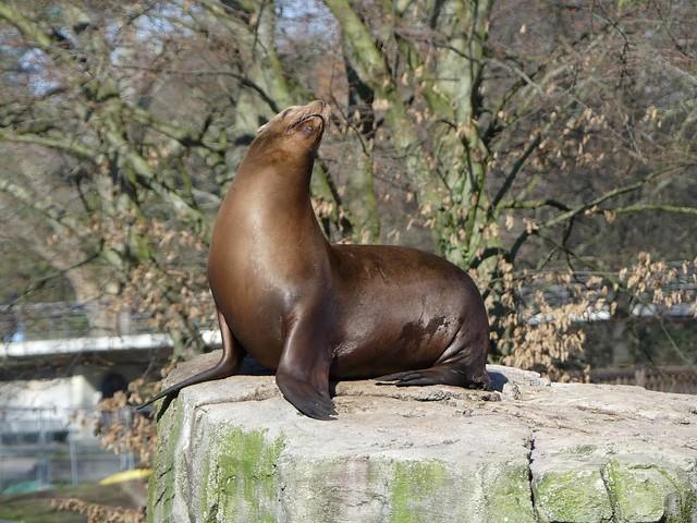 Seelöwe, Zoo Karlsruhe