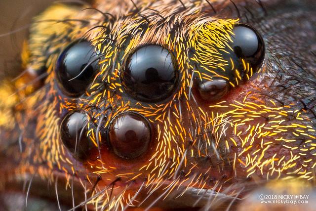 Wandering spider (Ctenus sp.) - DSC_8109x